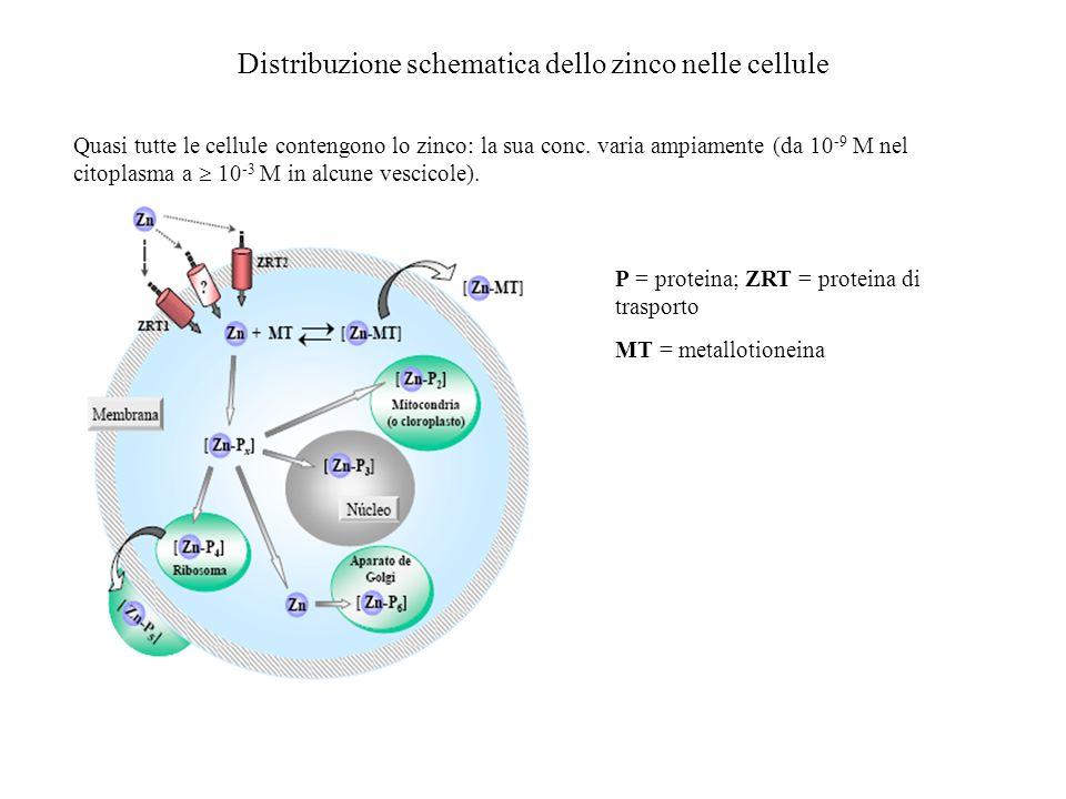 Distribuzione schematica dello zinco nelle cellule