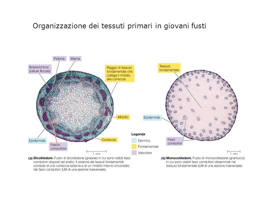 Organizzazione dei tessuti primari in giovani fusti