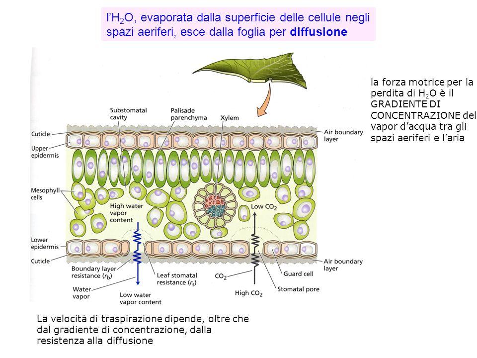 l'H2O, evaporata dalla superficie delle cellule negli spazi aeriferi, esce dalla foglia per diffusione