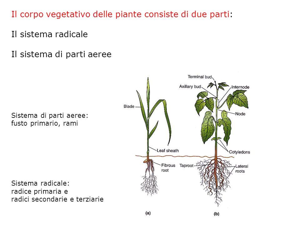 Il corpo vegetativo delle piante consiste di due parti: