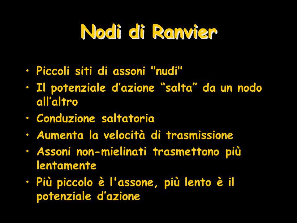 Nodi di Ranvier Piccoli siti di assoni nudi