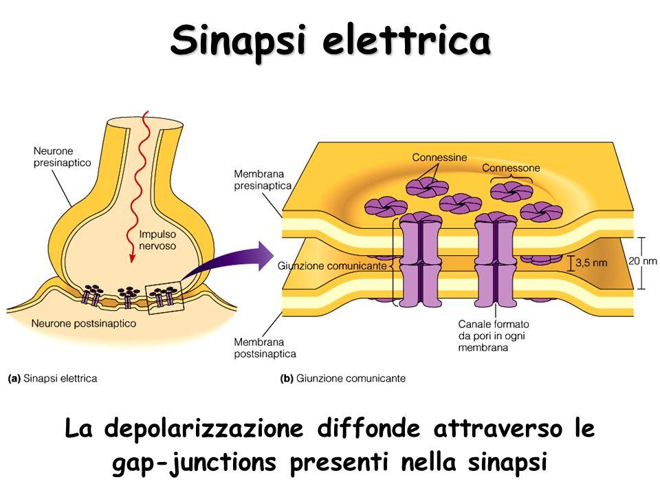 Sinapsi elettrica La depolarizzazione diffonde attraverso le gap-junctions presenti nella sinapsi