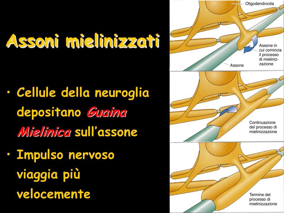 Assoni mielinizzati Cellule della neuroglia depositano Guaina Mielinica sull'assone.