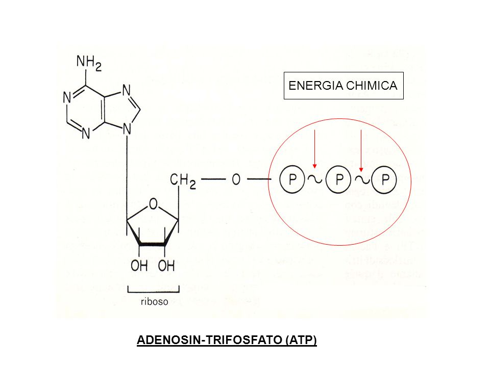 ENERGIA CHIMICA ADENOSIN-TRIFOSFATO (ATP)