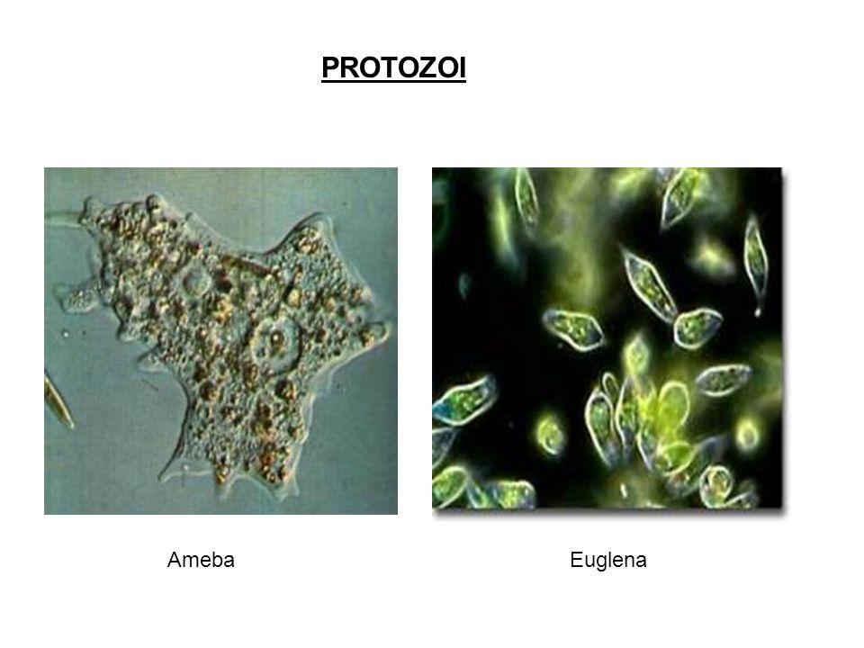 PROTOZOI Ameba Euglena