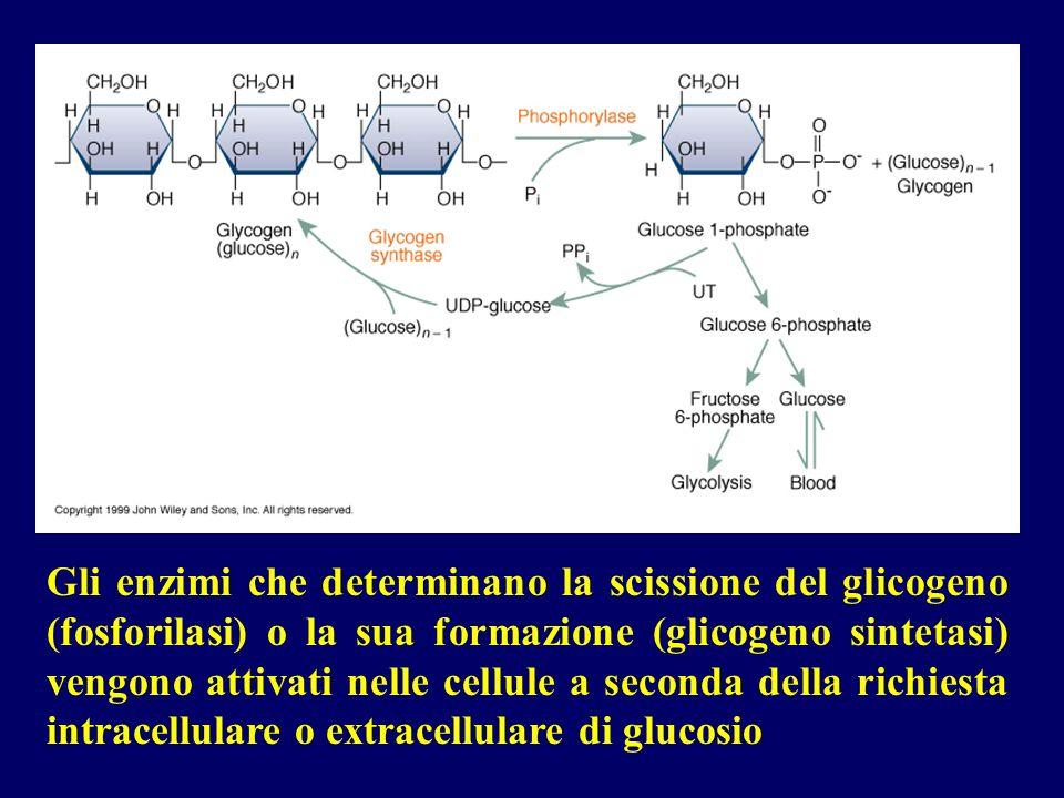 Gli enzimi che determinano la scissione del glicogeno (fosforilasi) o la sua formazione (glicogeno sintetasi) vengono attivati nelle cellule a seconda della richiesta intracellulare o extracellulare di glucosio