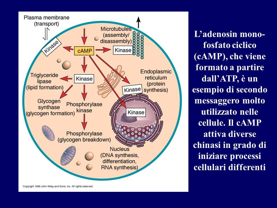 L'adenosin mono- fosfato ciclico (cAMP), che viene formato a partire dall'ATP, è un esempio di secondo messaggero molto utilizzato nelle cellule.