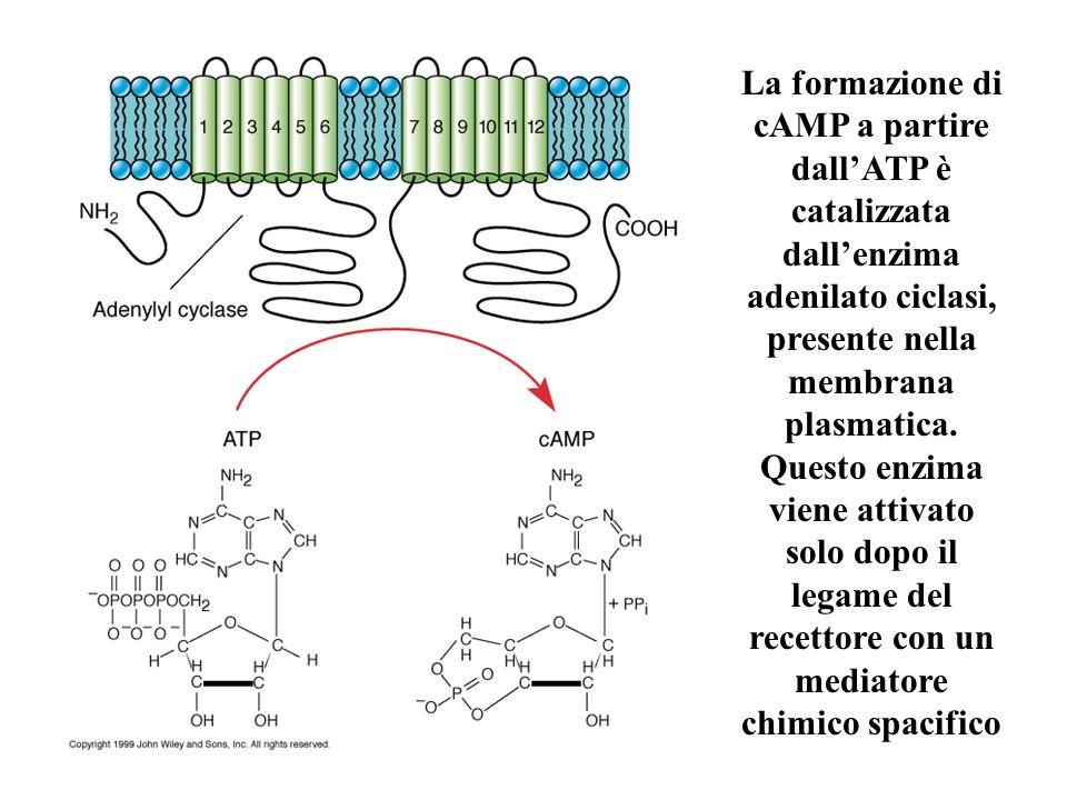 La formazione di cAMP a partire dall'ATP è catalizzata dall'enzima adenilato ciclasi, presente nella membrana plasmatica.