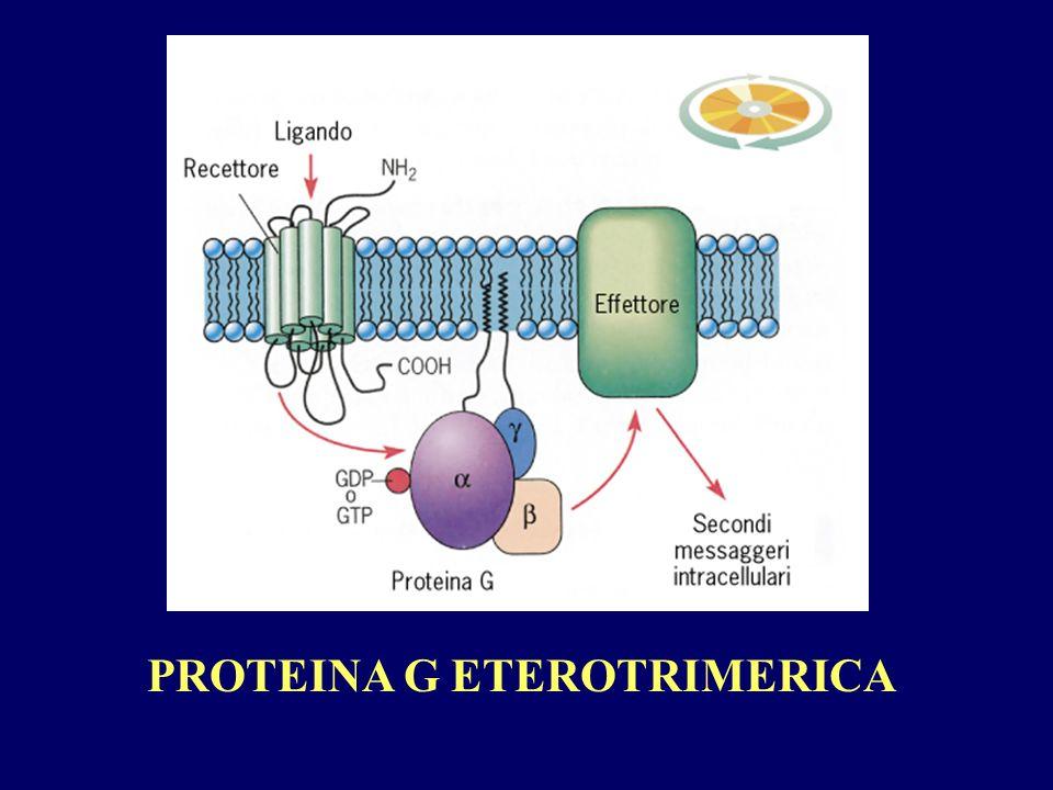 PROTEINA G ETEROTRIMERICA