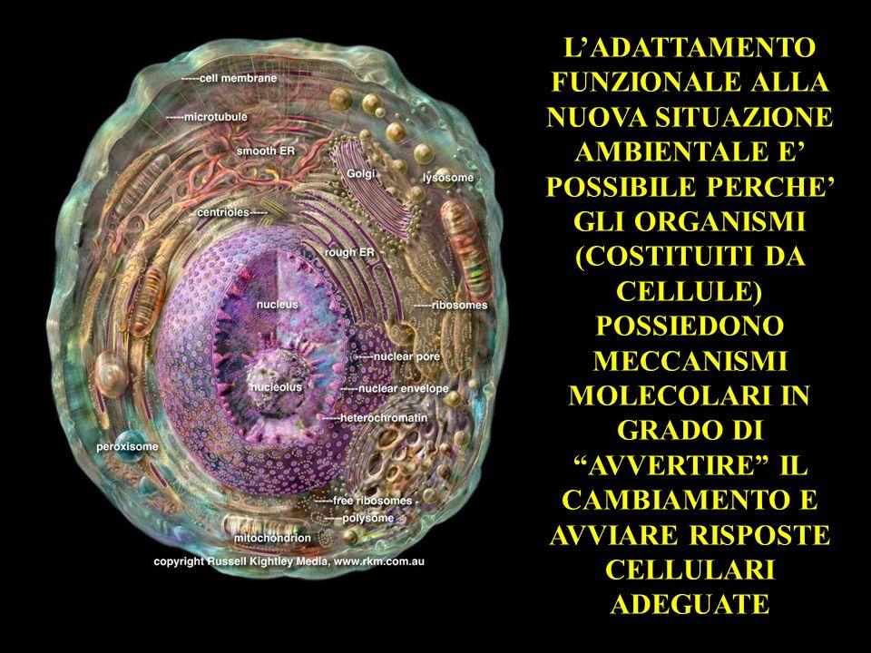 L'ADATTAMENTO FUNZIONALE ALLA NUOVA SITUAZIONE AMBIENTALE E' POSSIBILE PERCHE' GLI ORGANISMI (COSTITUITI DA CELLULE) POSSIEDONO MECCANISMI MOLECOLARI IN GRADO DI AVVERTIRE IL CAMBIAMENTO E AVVIARE RISPOSTE CELLULARI ADEGUATE