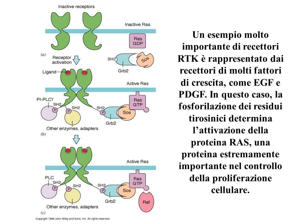 Un esempio molto importante di recettori RTK è rappresentato dai recettori di molti fattori di crescita, come EGF e PDGF.