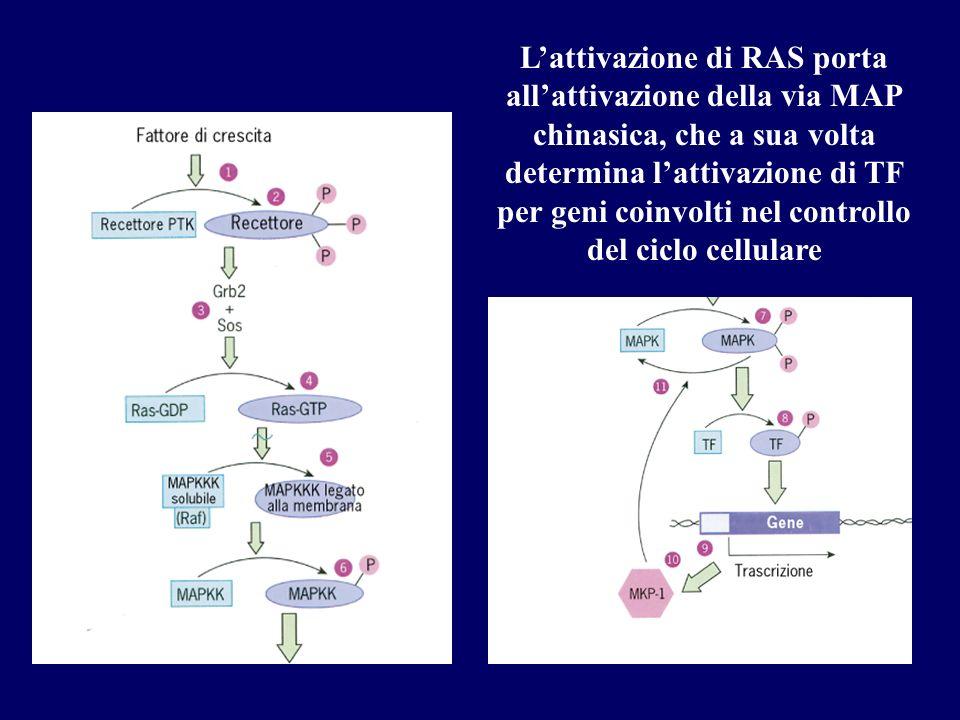 L'attivazione di RAS porta all'attivazione della via MAP chinasica, che a sua volta determina l'attivazione di TF per geni coinvolti nel controllo del ciclo cellulare