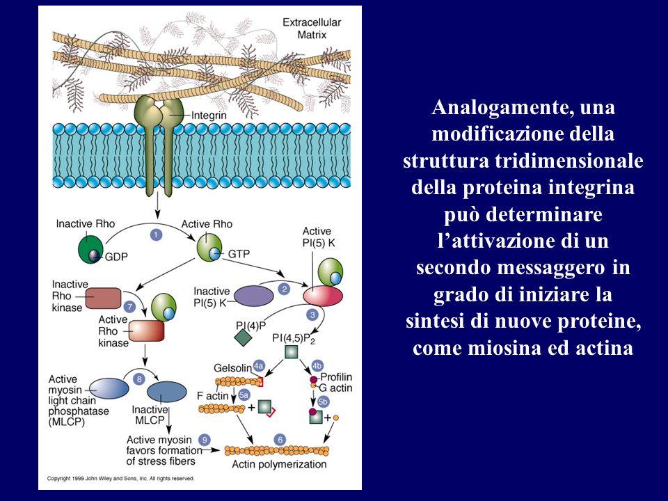 Analogamente, una modificazione della struttura tridimensionale della proteina integrina può determinare l'attivazione di un secondo messaggero in grado di iniziare la sintesi di nuove proteine, come miosina ed actina