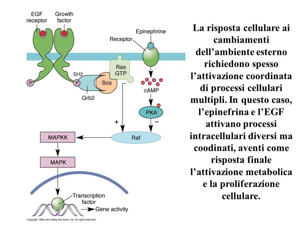 La risposta cellulare ai cambiamenti dell'ambiente esterno richiedono spesso l'attivazione coordinata di processi cellulari multipli.