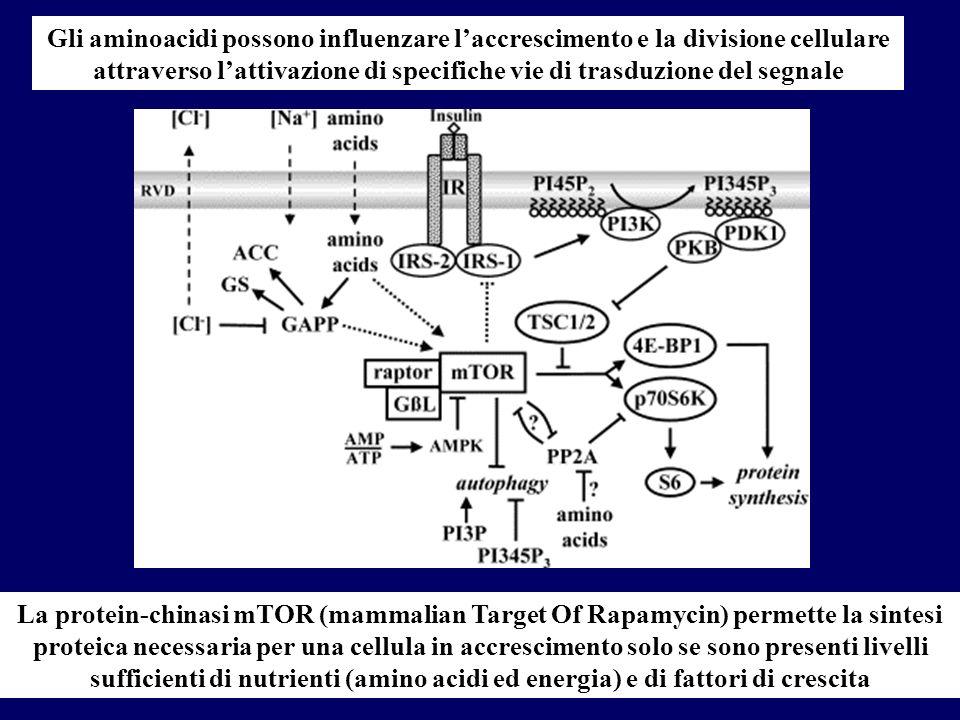 Gli aminoacidi possono influenzare l'accrescimento e la divisione cellulare attraverso l'attivazione di specifiche vie di trasduzione del segnale