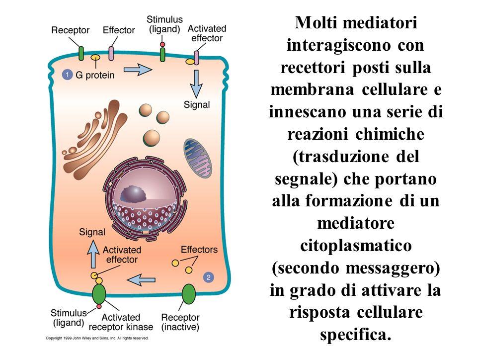 Molti mediatori interagiscono con recettori posti sulla membrana cellulare e innescano una serie di reazioni chimiche (trasduzione del segnale) che portano alla formazione di un mediatore citoplasmatico (secondo messaggero) in grado di attivare la risposta cellulare specifica.