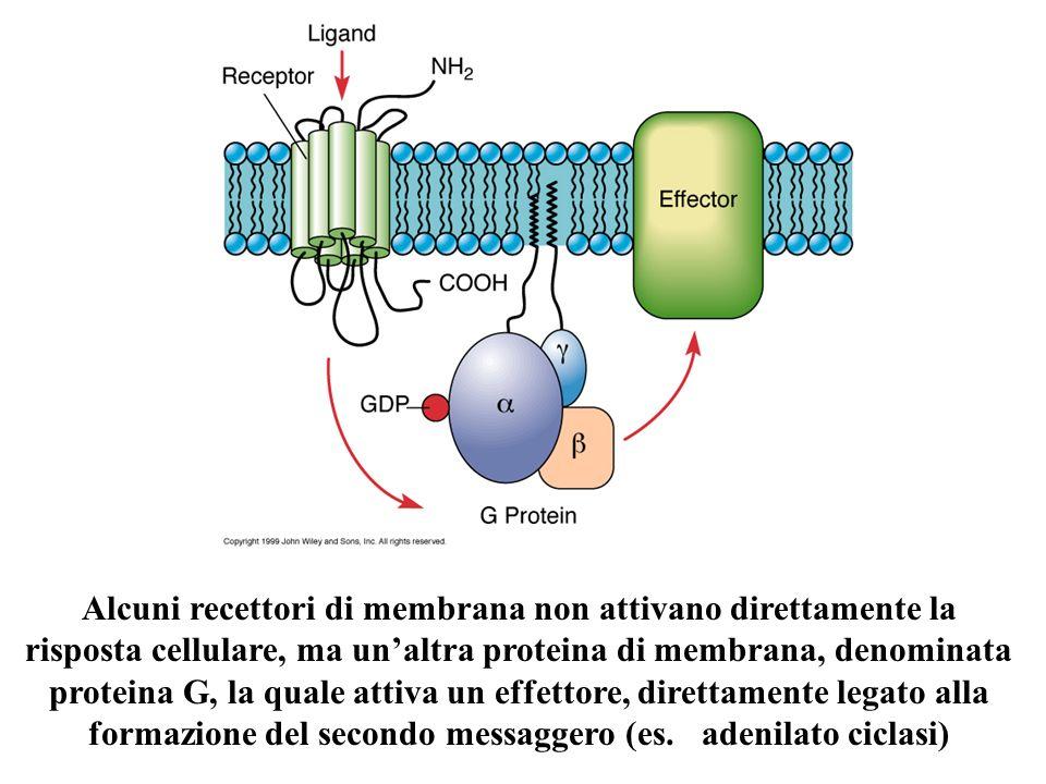 Alcuni recettori di membrana non attivano direttamente la risposta cellulare, ma un'altra proteina di membrana, denominata proteina G, la quale attiva un effettore, direttamente legato alla formazione del secondo messaggero (es.