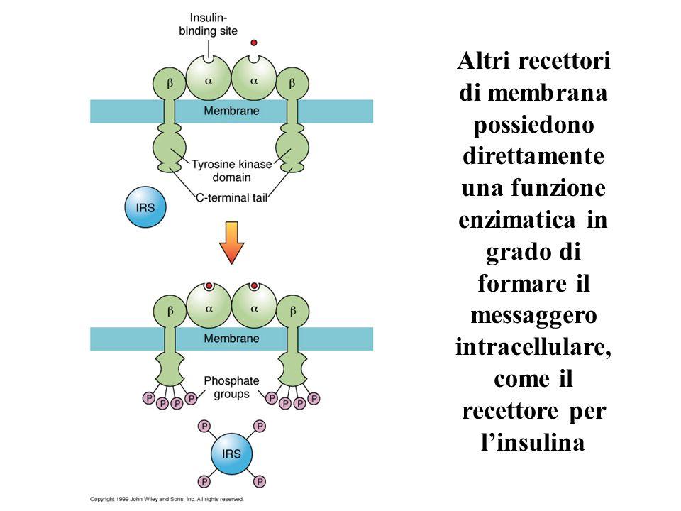 Altri recettori di membrana possiedono direttamente una funzione enzimatica in grado di formare il messaggero intracellulare, come il recettore per l'insulina