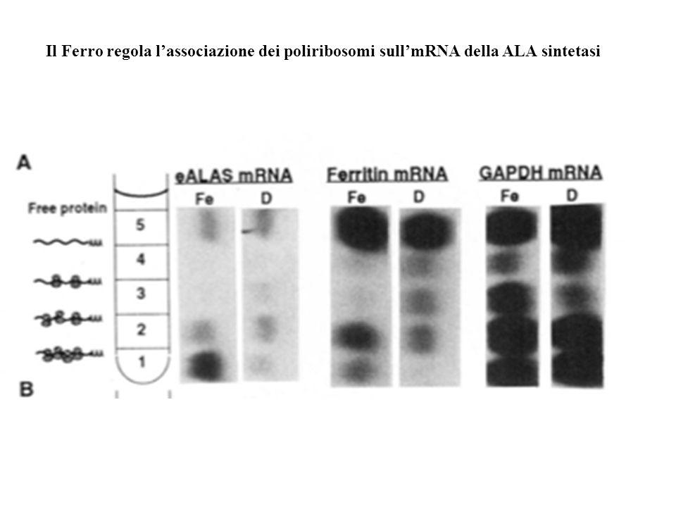 Il Ferro regola l'associazione dei poliribosomi sull'mRNA della ALA sintetasi