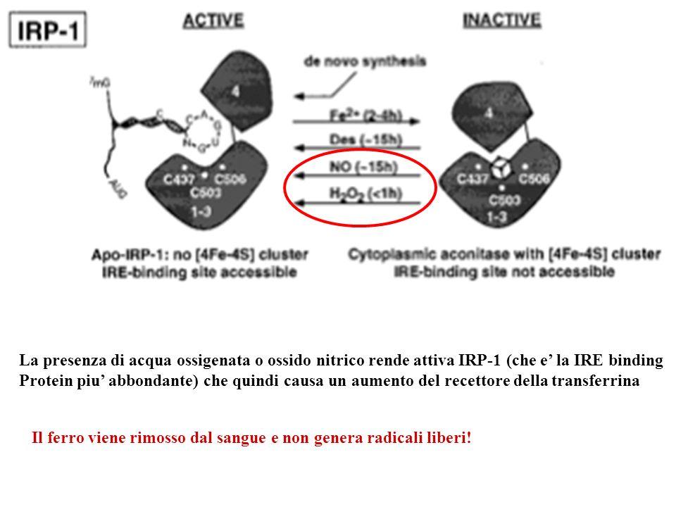 La presenza di acqua ossigenata o ossido nitrico rende attiva IRP-1 (che e' la IRE binding