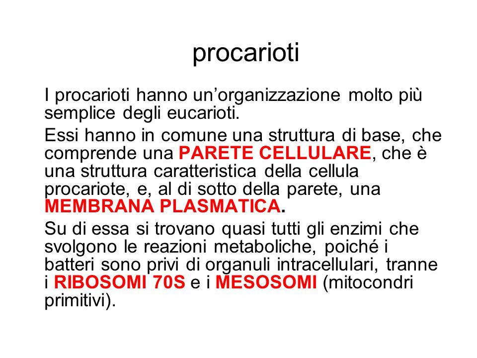 procarioti I procarioti hanno un'organizzazione molto più semplice degli eucarioti.