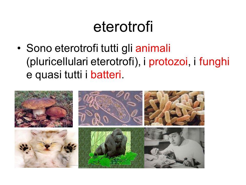 eterotrofi Sono eterotrofi tutti gli animali (pluricellulari eterotrofi), i protozoi, i funghi e quasi tutti i batteri.