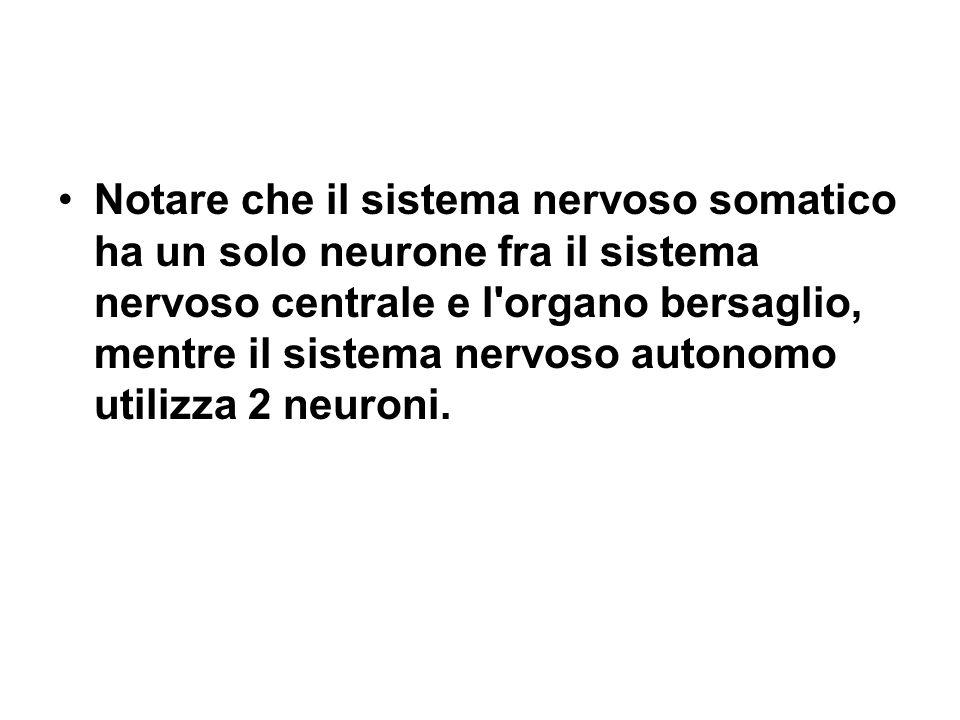Notare che il sistema nervoso somatico ha un solo neurone fra il sistema nervoso centrale e l organo bersaglio, mentre il sistema nervoso autonomo utilizza 2 neuroni.