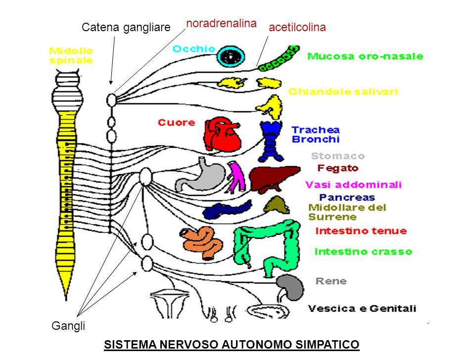 noradrenalina Catena gangliare acetilcolina Gangli SISTEMA NERVOSO AUTONOMO SIMPATICO