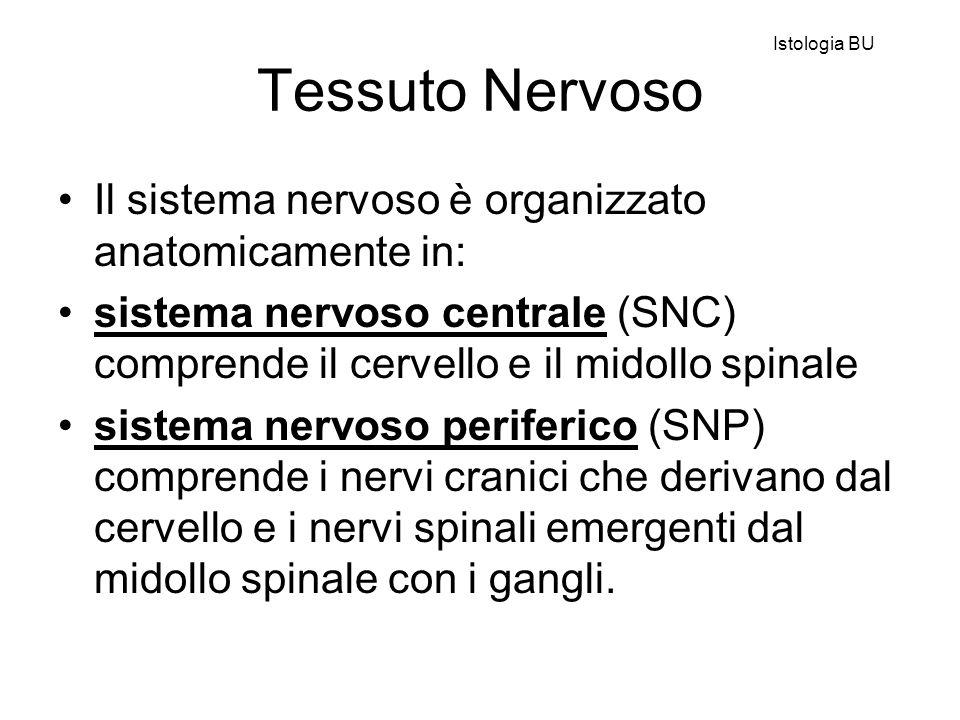 Tessuto Nervoso Il sistema nervoso è organizzato anatomicamente in: