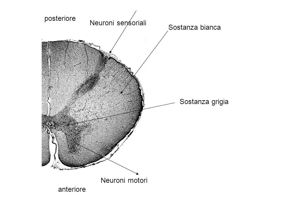 posteriore Neuroni sensoriali Sostanza bianca Sostanza grigia Neuroni motori anteriore