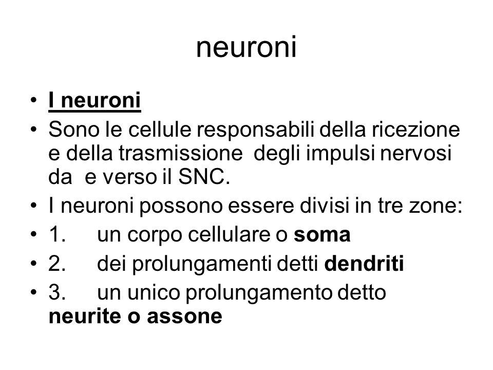 neuroni I neuroni. Sono le cellule responsabili della ricezione e della trasmissione degli impulsi nervosi da e verso il SNC.