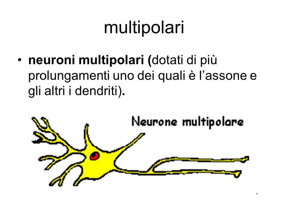 multipolari neuroni multipolari (dotati di più prolungamenti uno dei quali è l'assone e gli altri i dendriti).