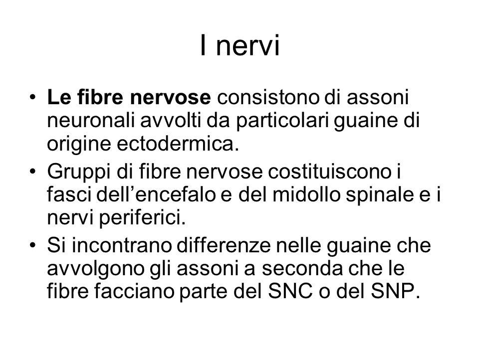 I nervi Le fibre nervose consistono di assoni neuronali avvolti da particolari guaine di origine ectodermica.