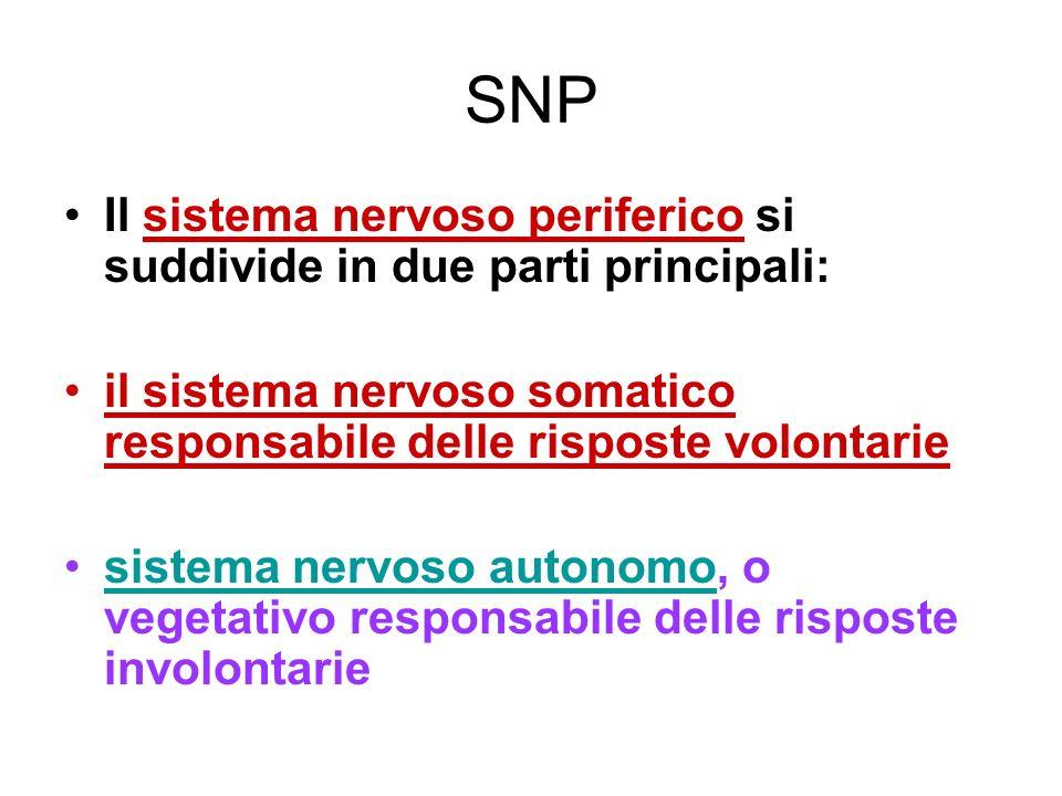 SNP Il sistema nervoso periferico si suddivide in due parti principali: il sistema nervoso somatico responsabile delle risposte volontarie.