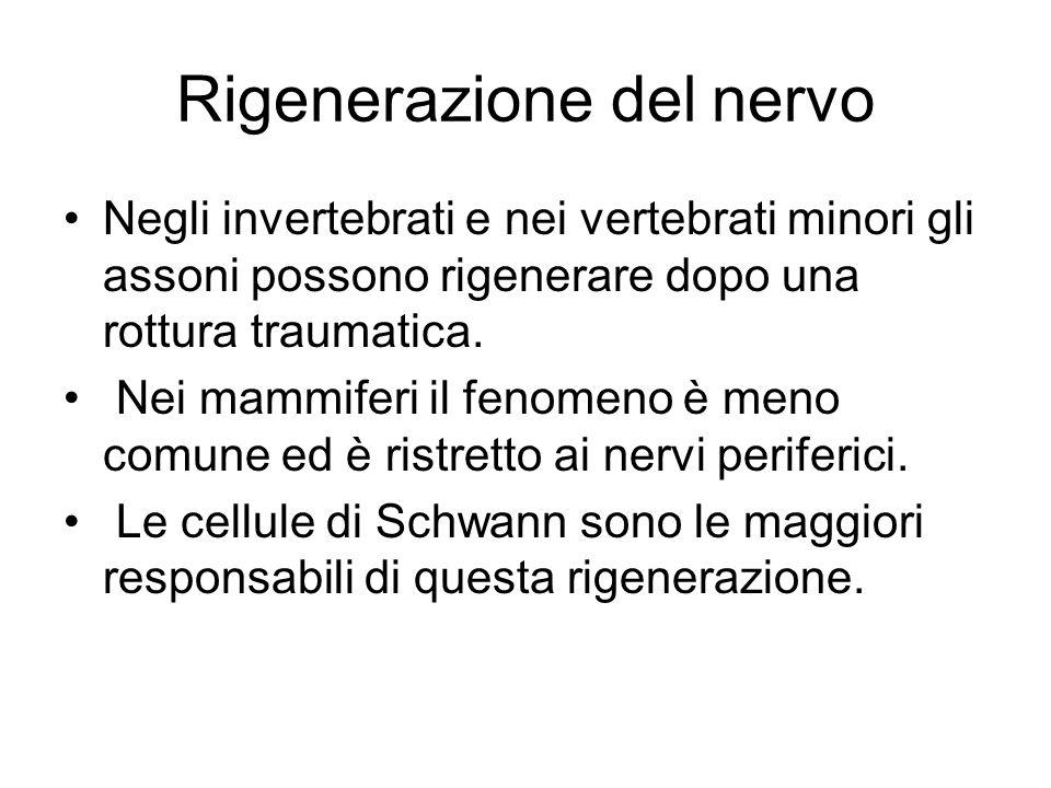 Rigenerazione del nervo