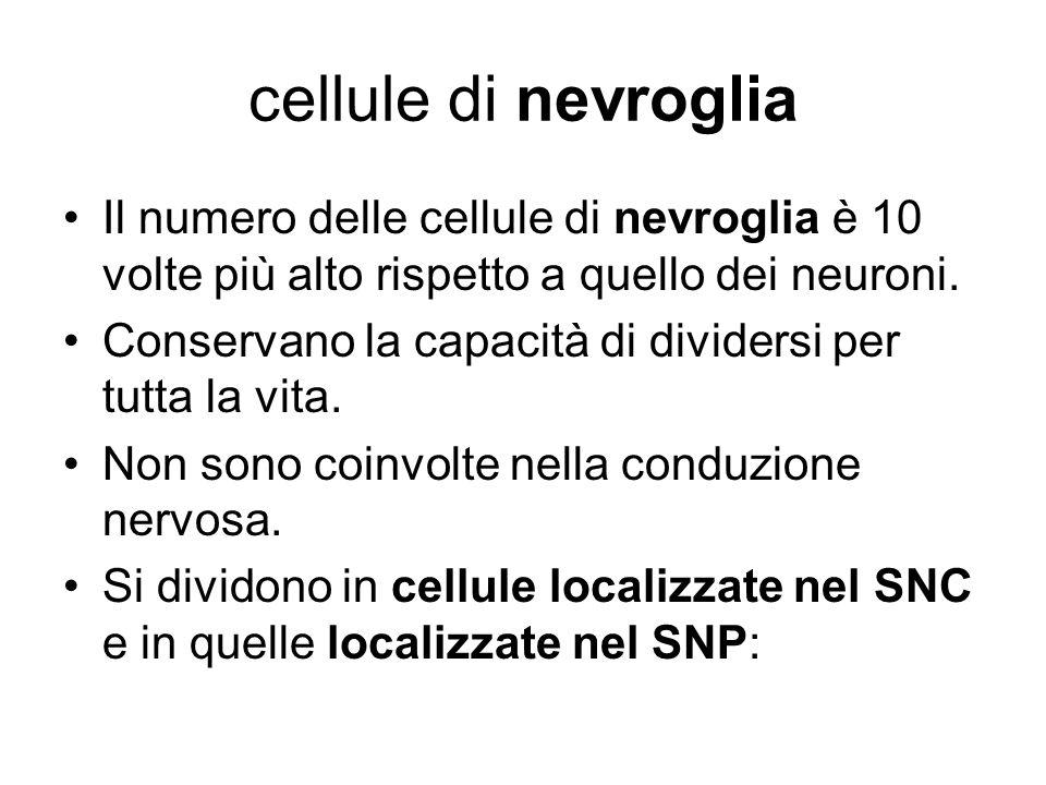 cellule di nevroglia Il numero delle cellule di nevroglia è 10 volte più alto rispetto a quello dei neuroni.