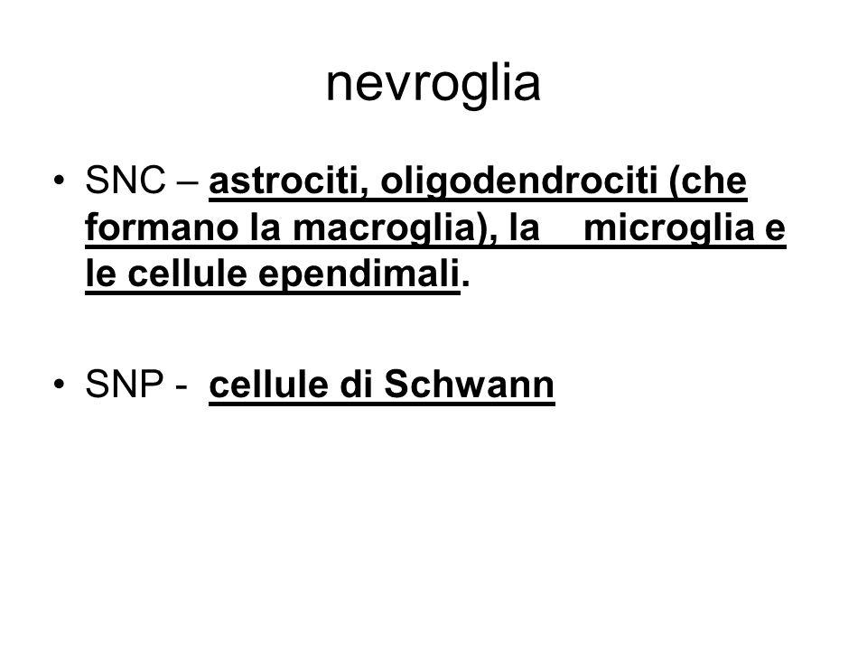 nevroglia SNC – astrociti, oligodendrociti (che formano la macroglia), la microglia e le cellule ependimali.