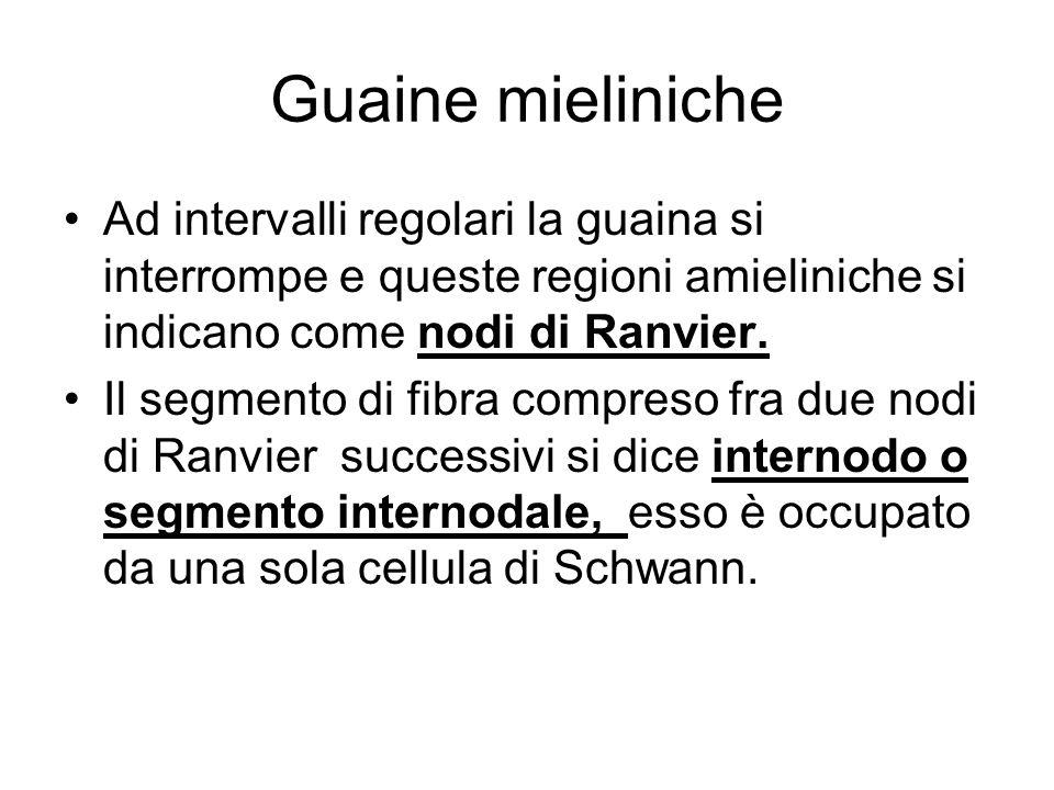 Guaine mieliniche Ad intervalli regolari la guaina si interrompe e queste regioni amieliniche si indicano come nodi di Ranvier.