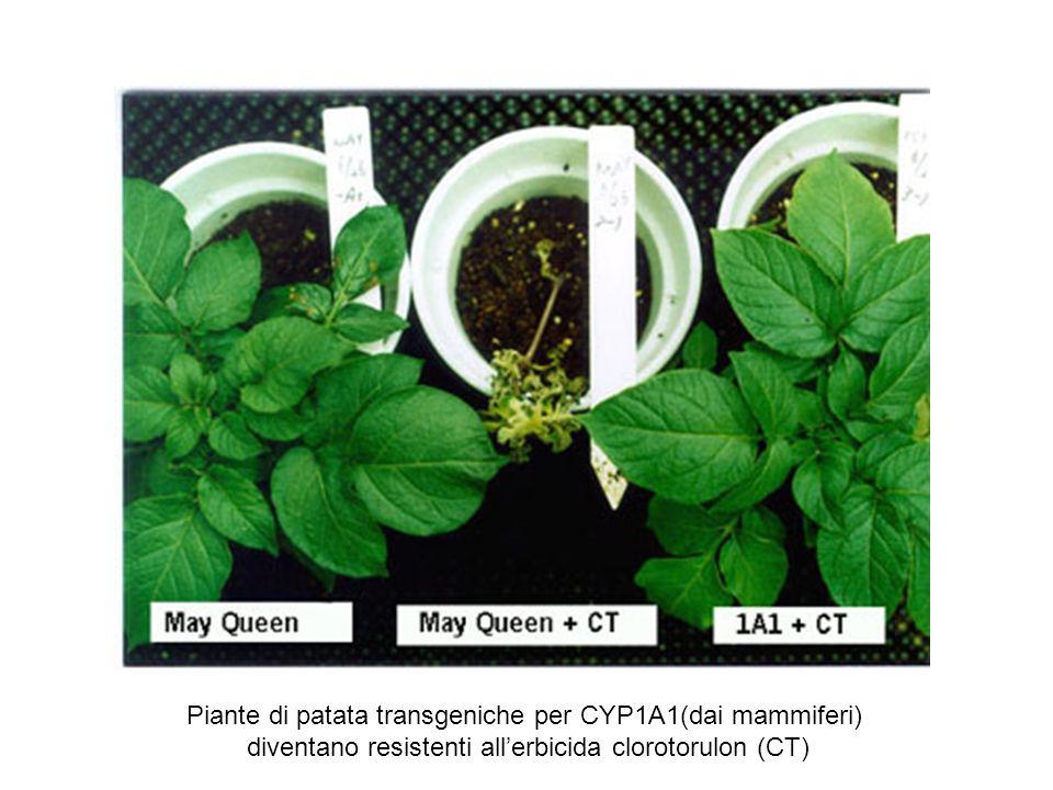 Piante di patata transgeniche per CYP1A1(dai mammiferi)