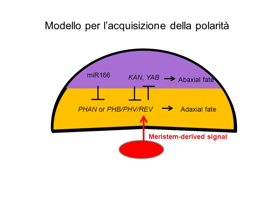 Modello per l'acquisizione della polarità