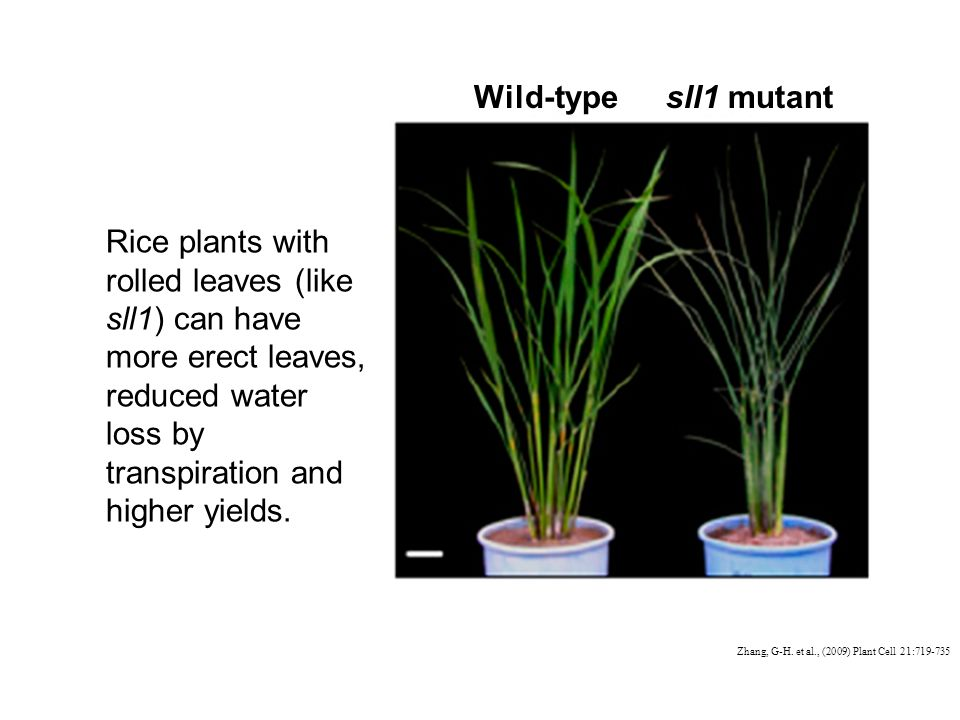 Rice plants with rolled leaves (like sll1) can have more erect leaves, reduced water loss by transpiration and higher yields.