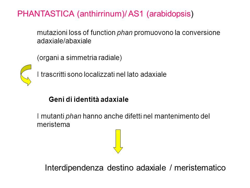 PHANTASTICA (anthirrinum)/ AS1 (arabidopsis)
