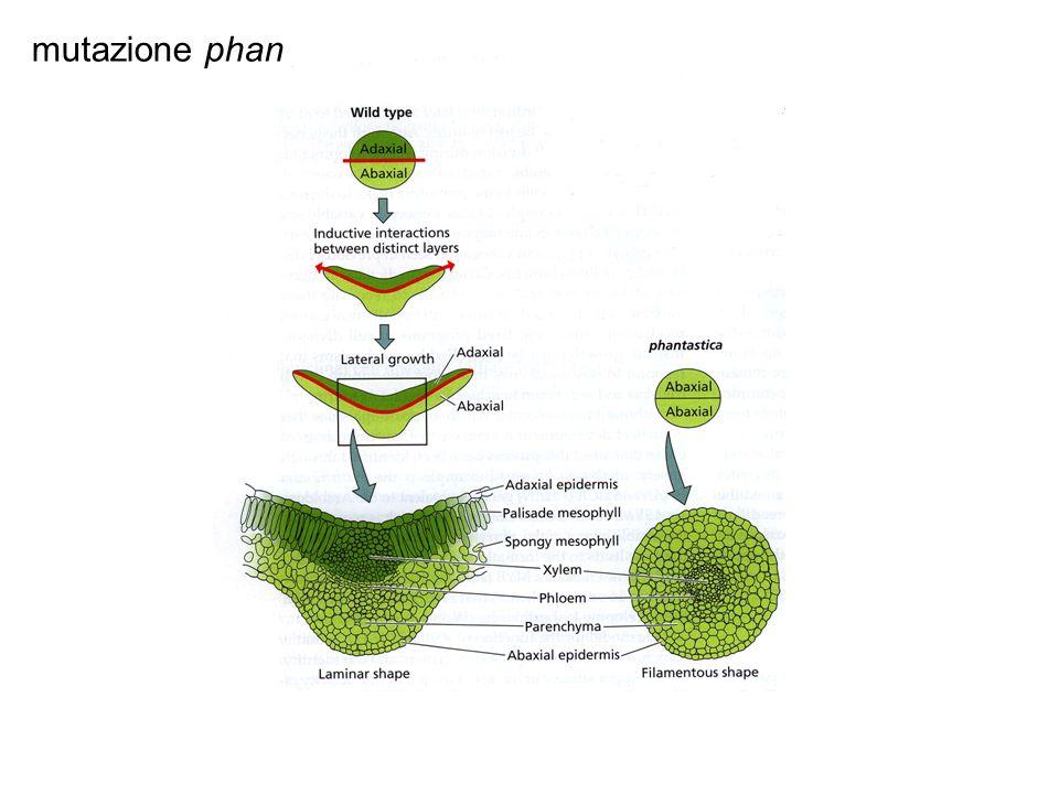 mutazione phan