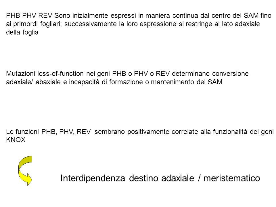 Interdipendenza destino adaxiale / meristematico