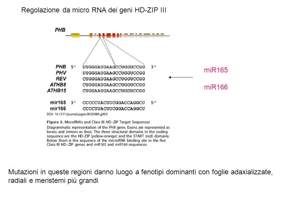Regolazione da micro RNA dei geni HD-ZIP III