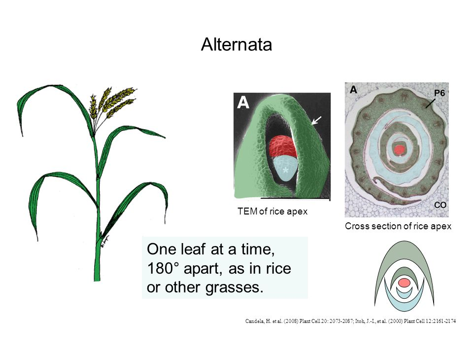 Alternata One leaf at a time, 180° apart, as in rice or other grasses.