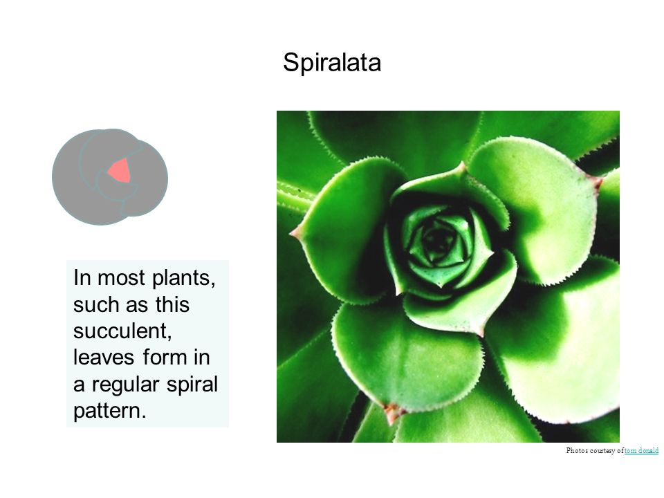 Spiralata In most plants, such as this succulent, leaves form in a regular spiral pattern.