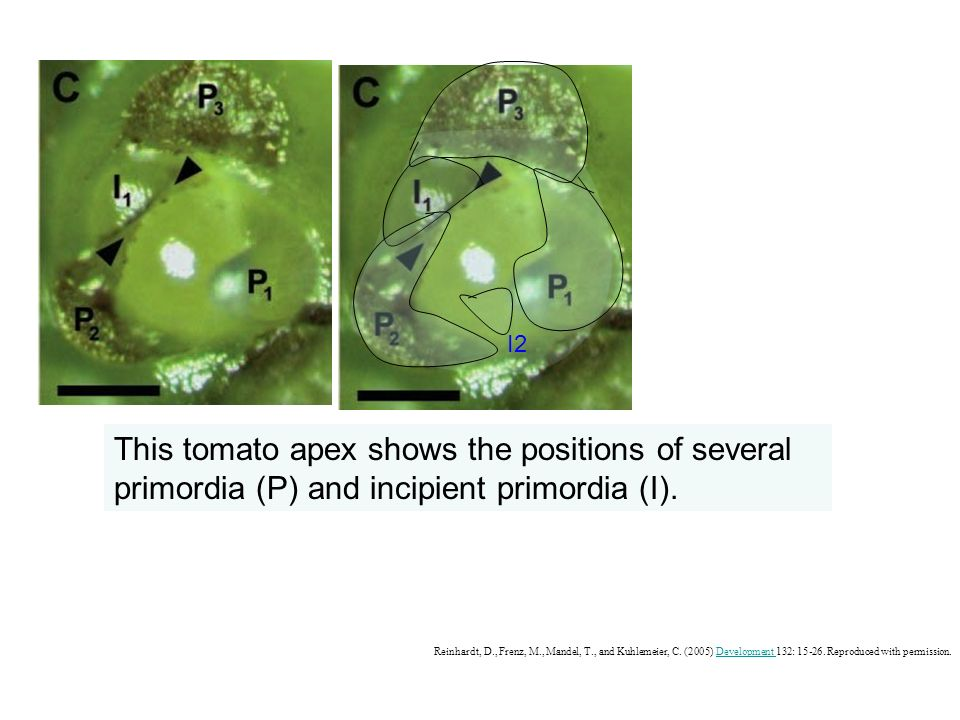 I2 This tomato apex shows the positions of several primordia (P) and incipient primordia (I).