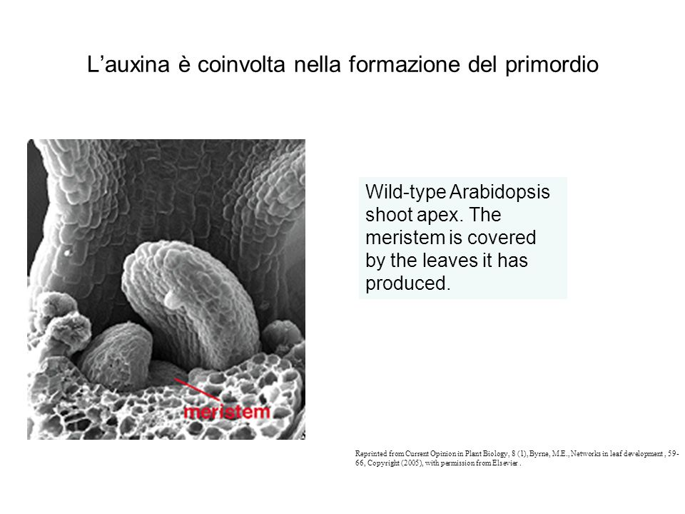 L'auxina è coinvolta nella formazione del primordio