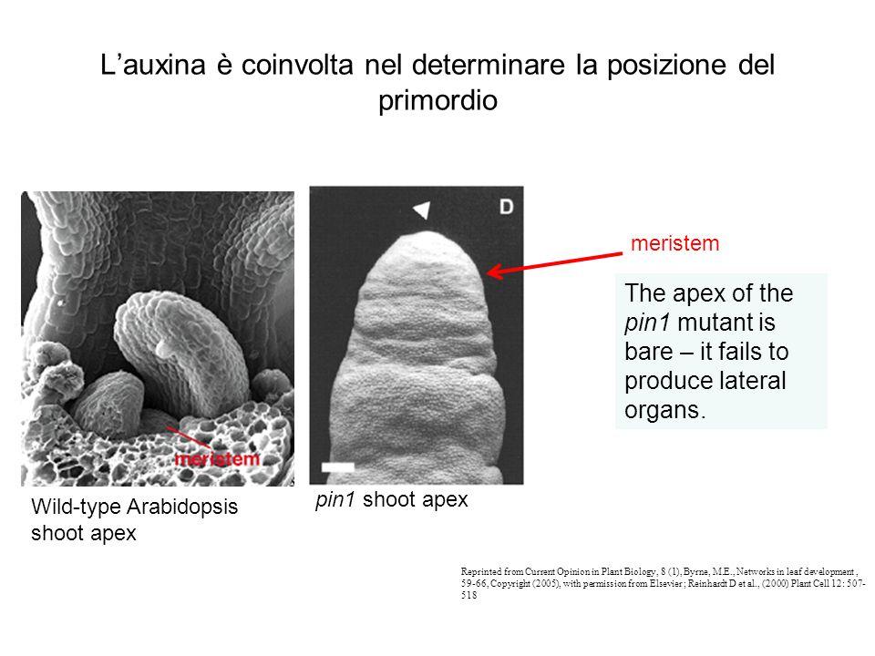 L'auxina è coinvolta nel determinare la posizione del primordio